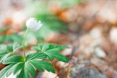 Wood anemone Stock Image