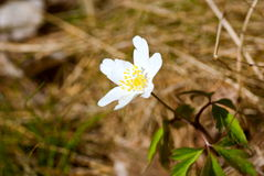 Wood anemone Royalty Free Stock Photos