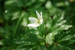 Wood Anemone with dew at dawn Stock Photos