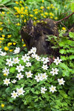 Wood Anemone en Lesser Celandine Royalty Free Stock Photos