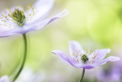 Wood anemone fantasy stock photo