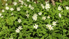 Wood anemone. First spring windflower, wood anemone close up stock video
