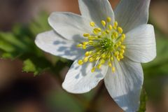 Wood Anemone flower close up/macro royalty free stock images