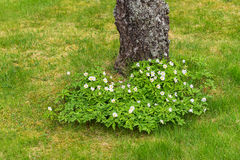 Wood anemone flowering at a treetrunk. Wood anemones on the foot of a treetrunk Stock Photography