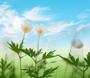 Wood anemone flowers on blue sky Royalty Free Stock Photos
