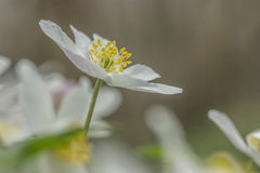 Wood anemone Royalty Free Stock Photo