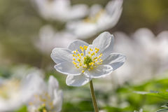 Wood anemone Stock Images