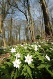 Wood anemone in forest Stock Photography