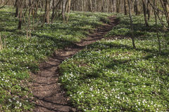 Wood anemone forest Royalty Free Stock Photo