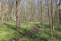 Wood anemone forest Royalty Free Stock Photography