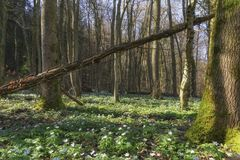 Wood anemone Royalty Free Stock Photography