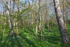 Wood anemone forest Stock Photography