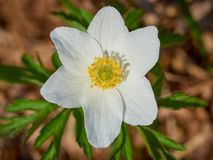 Wood anemone growing wild in the forest in springtime Royalty Free Stock Image