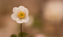 Wood anemone. Little plant wood anemoon in springtime in the field stock photo