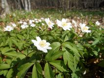 Wood anemone in nature, forest in southeast Serbia. Anemone nemorosa, common names: wood anemone, windflower, European thimbleweed, smell fox, forest in stock image