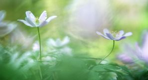 TWo wood anemone royalty free stock images