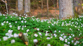 Wood anemone Nemorosa Stock Image