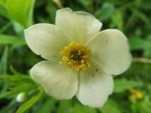 Wood anemone in the shade Stock Photos