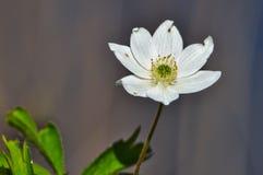 Wood anemone stock photos