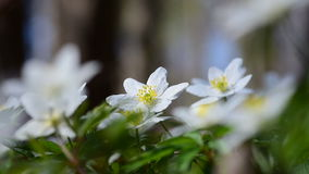 Wood anemone and song thrush stock footage