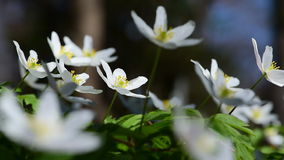 Wood anemone and song thrush stock video