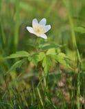 Wood anemone Stock Photography