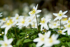 Wood Anemone Stretches For Sunshine - vårplats Arkivfoto