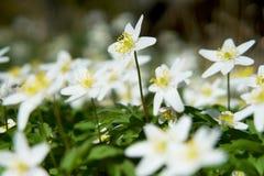 Wood Anemone Stretches For Sunshine - vårplats Arkivfoto