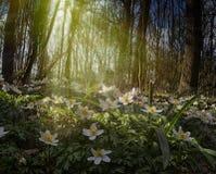 Wood anemone Royalty Free Stock Image
