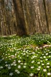 Anemone nemorosa flower in the forest in the sunny day. Stock Photo