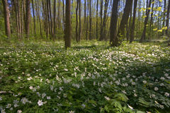 wood anemoner Royaltyfria Foton