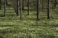 Wood anemones Stock Photography