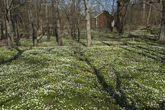 Wood anemones Stock Image
