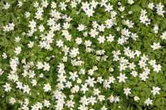 Wood Anemones Royalty Free Stock Image