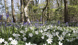 Wood anemones and bluebells Stock Photography