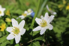 Wood anemones Stock Images