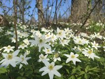 Wood Anemones. In Forest Royalty Free Stock Photo