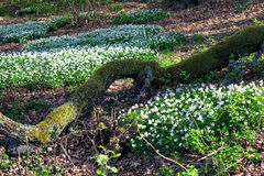 Wood anemones at springtime in Sweden. Wood anemones at springtime in Ostergotland, Sweden Royalty Free Stock Images