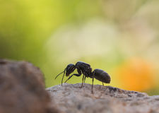 Wood ant Royalty Free Stock Photography