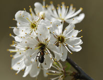 Wood Ant on Blackthorn Flower Stock Images
