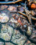 Wood Ant. Close-up Royalty Free Stock Photography