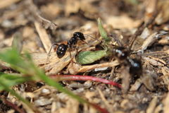 Wood ant. The wood ant in the soil Stock Photography