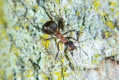 Wood ant Royalty Free Stock Image
