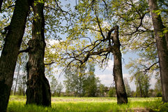 Wood aspen. Summer landscape, grass green juicy and trees Stock Photography