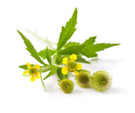 Wood avens Royalty Free Stock Photos
