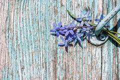 Wood background with peeling blue paint and blue snowdrops. Wood background with peeling blue paint and a bunch of blue snowdrops Royalty Free Stock Photography