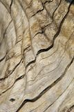 Wood Background and Texture - Curve, Contours and Color. A close-up view of exposed wood from a Leadwood tree, as seen in the wilds of Africa.  This image shows Royalty Free Stock Photos