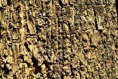 Wood bakgrund för textur för skällträd Royaltyfria Foton
