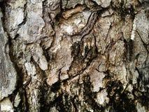 Wood bakgrund för textur för skällträd foto Natur arkivbild