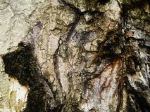 Wood bakgrund för textur för skällträd foto Natur royaltyfri bild